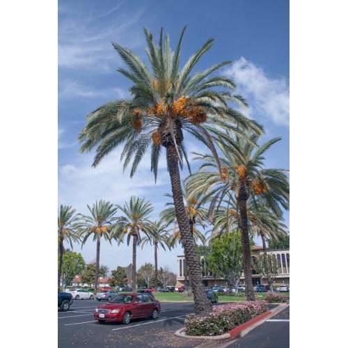 Medium Crop Of Medjool Date Palm