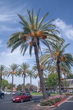 Small Of Medjool Date Palm