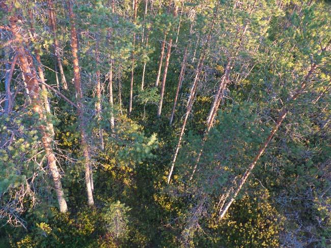 Karelien-Bäume
