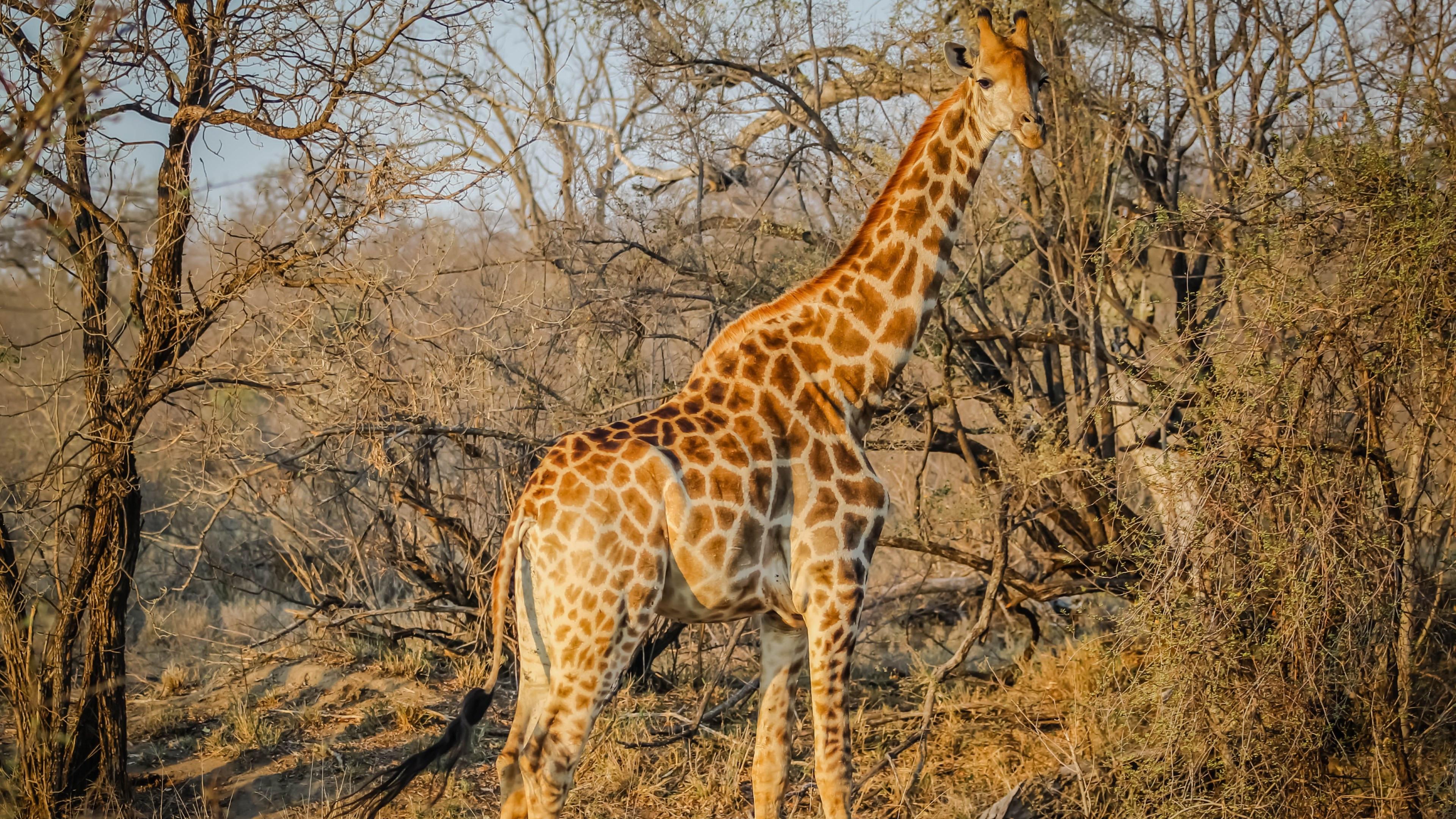Ultra Hd Desktop Wallpapers Download Wallpaper Wild Giraffe In African Safari 3840x2160