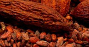 Faktor Penyebab Mutu Kakao