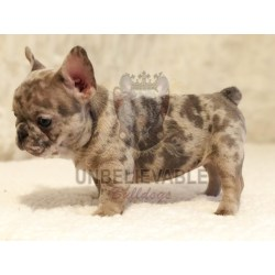Small Crop Of Teacup French Bulldog
