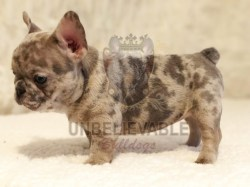 Small Of Teacup French Bulldog