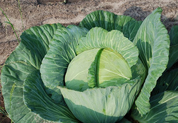 uncle matts cabbage