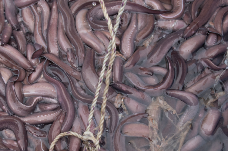 New Grant Will Fund Study Of Hagfish Slime Unh Today