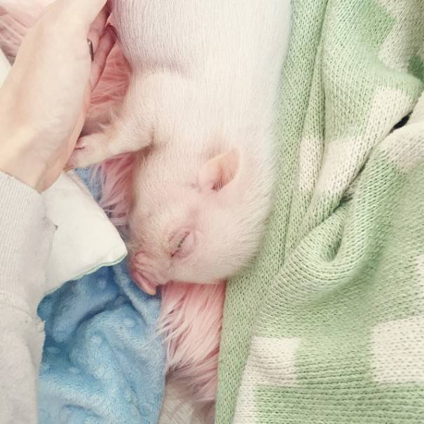 maialino dorme