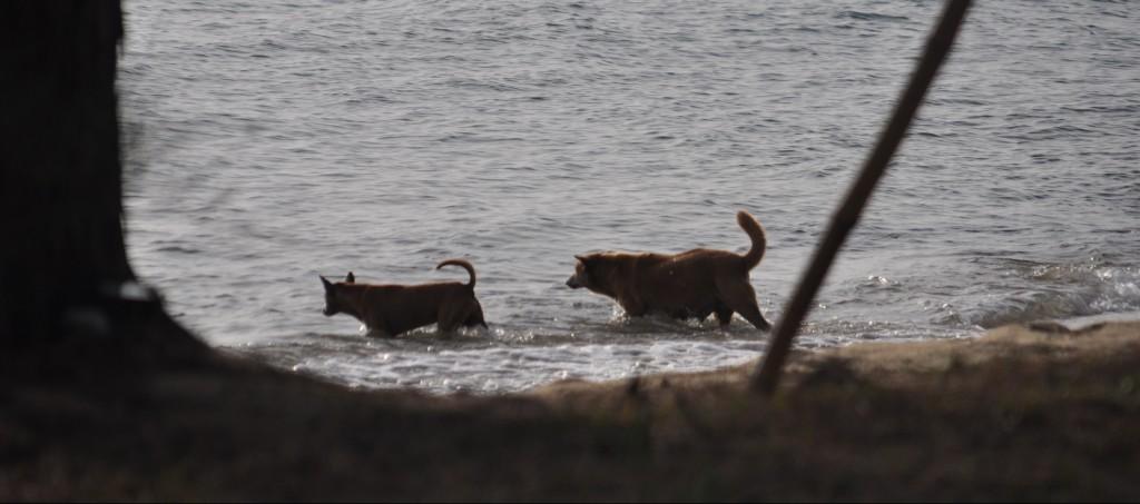 Petit instant de détente balnéaire pour les chiens à crête de Phu Quoc