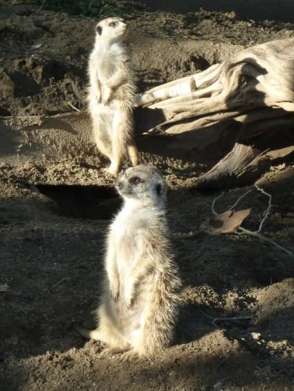Les colonies de suricates ont fait leur trou au zoo de San Diego