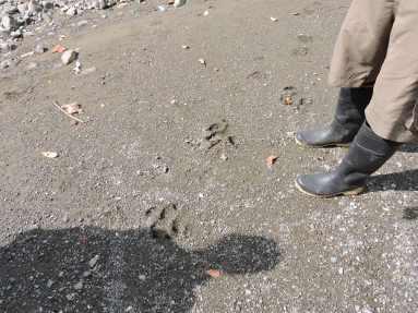observer les traces d'animaux