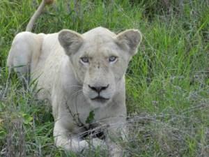 Le lion blanc a été réintroduit dans la vallée du Limpopo voisine du parc Kruger
