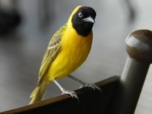 Proche du moineau, le tisserin est un oiseau endémique d'Afrique du Sud