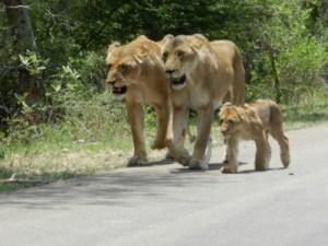 Balade féline en famille sur les routes du parc Kruger