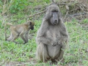 Qu'est ce qu'elle a ma gueule de babouin?