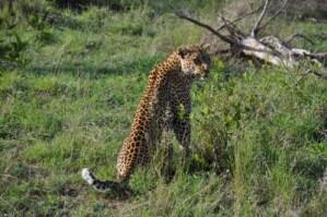 Le léopard ne se laisse pas entrevoir facilement. Merci pour cette pose