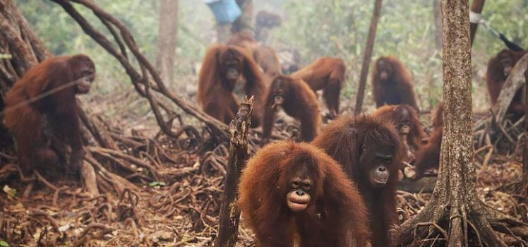 orangs outans recueillis par le Borneo Orangutan Survival Foundation (Photo: Antara Foto/Reuters)
