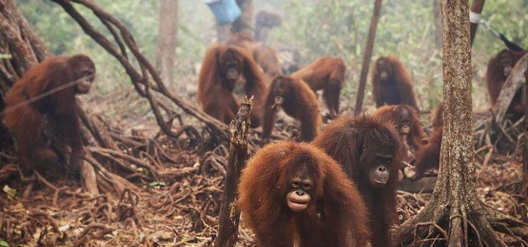 orangs outans recueillis par le Borneo Orangutan Survival Foundation (Photo: Antara Foto/Reuters)