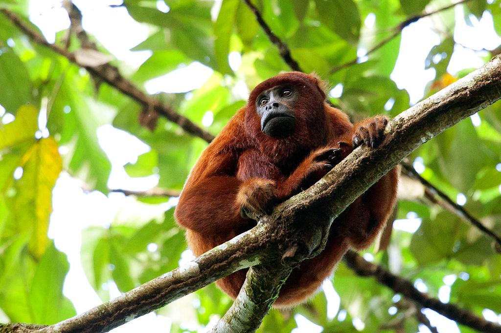 singe hurleur roux parc national Manu Perou