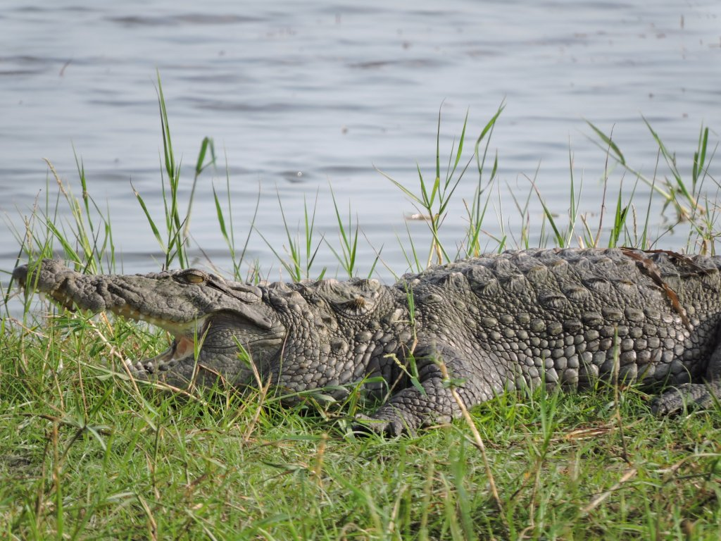 Le crocodile marin (Crocodylus porosus) ou crocodile à double crête peut mesurer entre 4 et 6 mètres