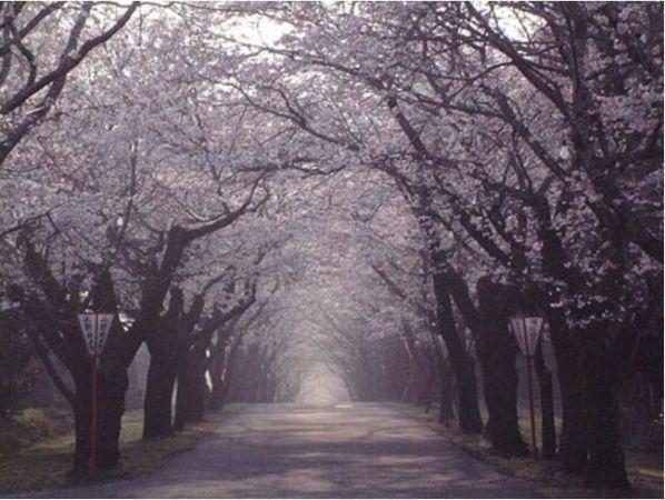 宮崎の桜の開花はいつごろ?2015オススメ花見スポット15選