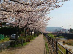 福岡花見スポットオススメ桜2015