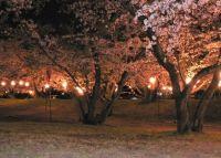 愛媛の桜の名所はここ!ライトアップ&見頃情報2015