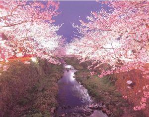 中国山口県のススメ桜スポット花見2015