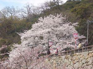鳥取花見オススメ桜スポット2015