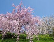 奈良の桜おすすめスポットは?開花&駐車場情報