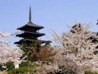 奈良 桜 早咲きランキング!見頃と開花予想2015