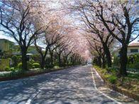 神奈川の桜ランキング上位はどこ?ドライブやデートにもオススメのスポットは?