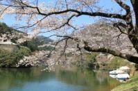 埼玉 桜 開花&オススメスポット情報2015!菜の花も同時に見られる公園は?