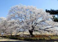 栃木 桜 オススメスポット2015ライトアップ&桜まつりがある名所は?