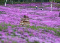 北海道の桜2015 様々な種類が見られるオススメスポットは?