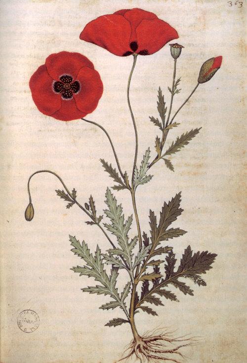 Poppies from the manuscript Codice Rinio Codice Roccobonella, 1445. (1)