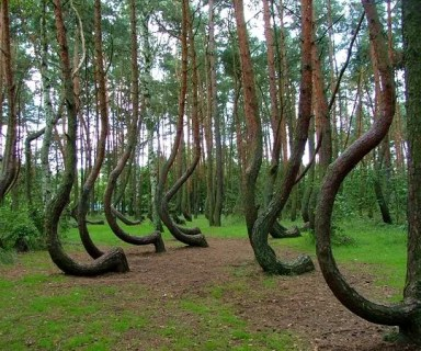 crooked-forest2