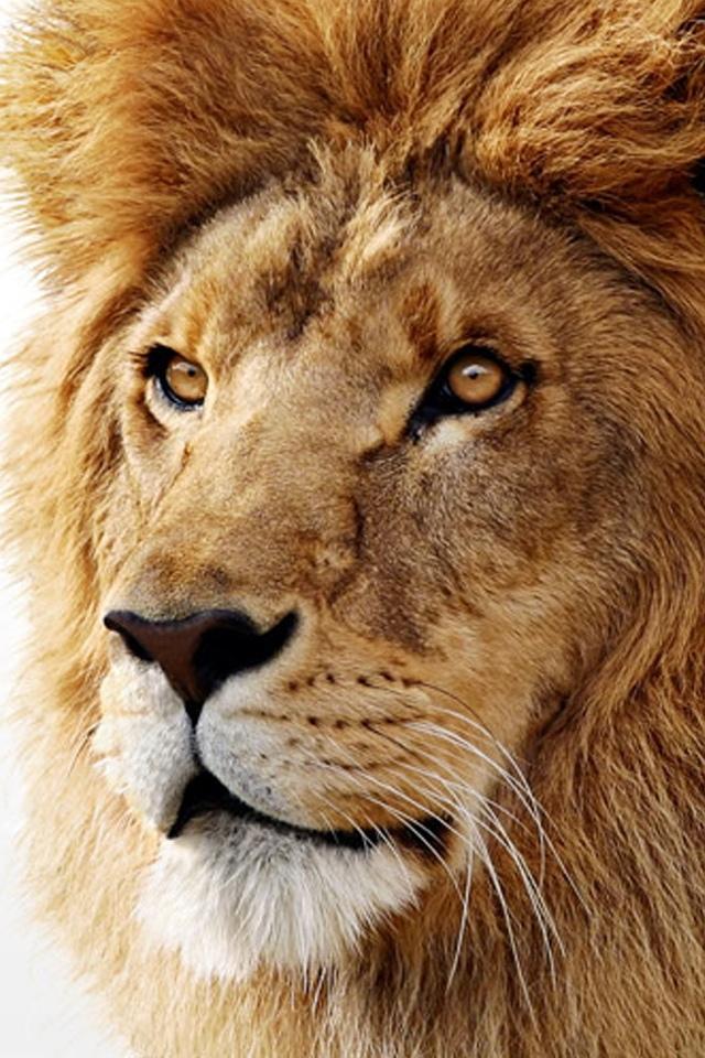 Iphone Hd 3d Wallpapers 威严的狮子 锁屏图片 高清手机壁纸 动物 回车桌面