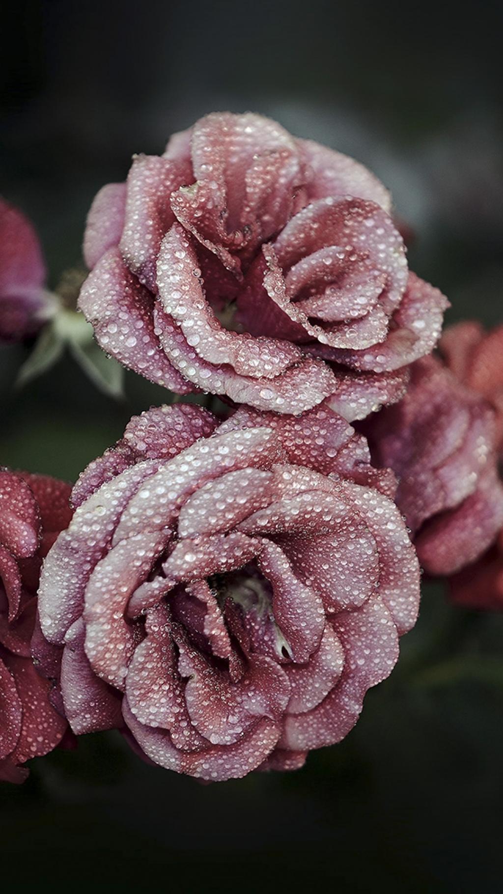 Cute Wallpapers Flower 错过的玫瑰花香 锁屏图片 高清手机壁纸 风景 回车桌面