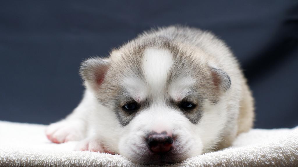 Cute Puppy Wallpapers For Iphone 哈士奇幼犬 高清图片 动物壁纸 回车桌面