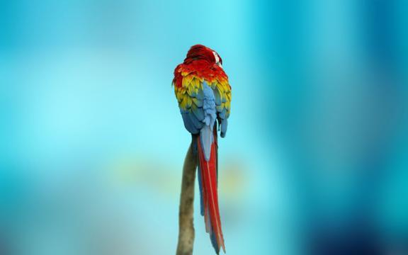 Uhd 3d Wallpaper Download 五彩金刚鹦鹉 高清图片 动物壁纸 回车桌面