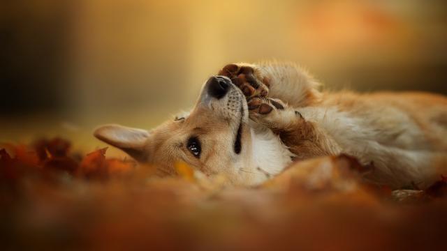 Fall Pictures For Desktop Wallpaper 威尔士柯基犬 高清图片 动物壁纸 回车桌面