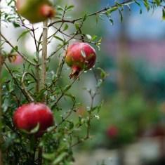 Cây lựu đỏ giá giảm sốc tại nhà vườn