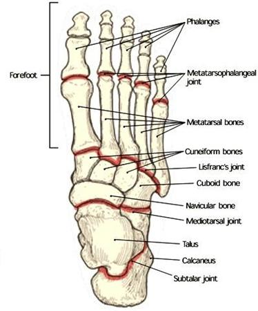 Foot Anatomy and Biomechanics - Foot  Ankle - Orthobullets