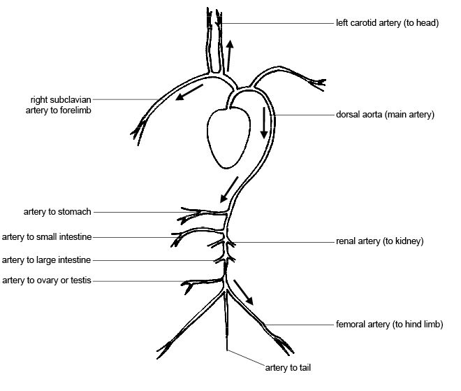 leg pulses diagram