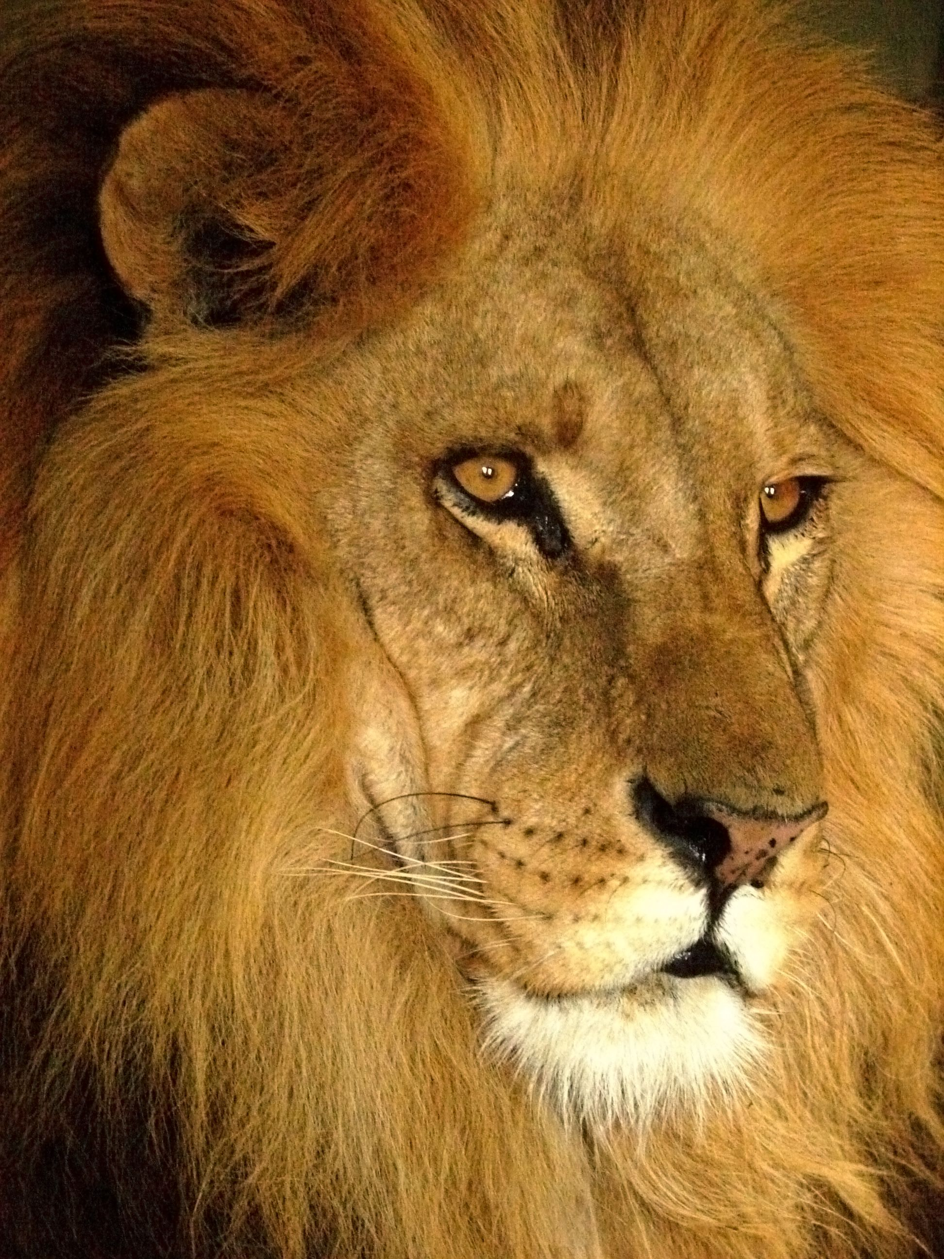 Black Animal Print Wallpaper File Darica Lion 07168 Jpg Wikimedia Commons