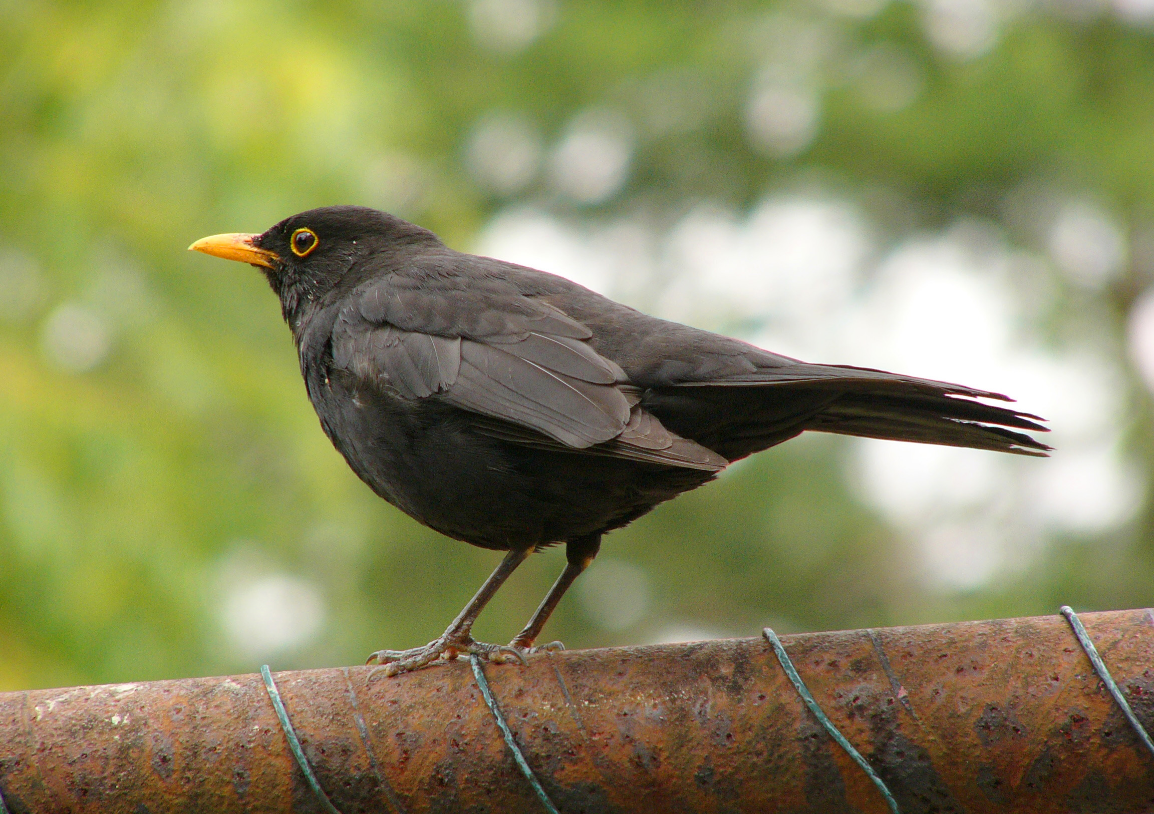 Vogel Schwarz File:blackbird 2.jpg - Wikipedia