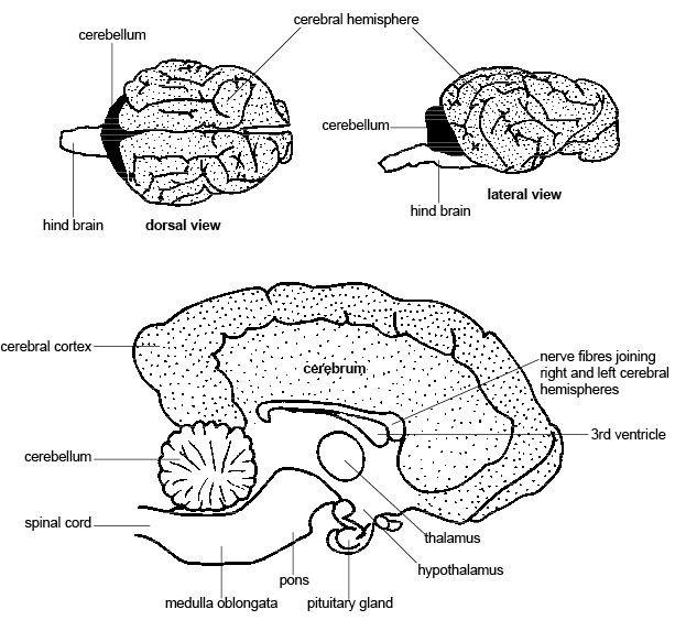 Anatomy and Physiology of Animals/Nervous System - Wikibooks, open