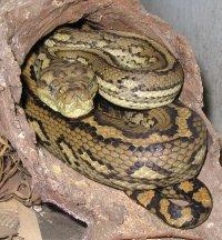 Morelia spilota - Wikipedia