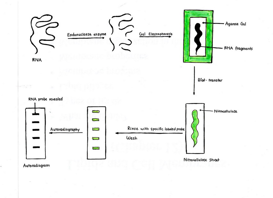 Structural Biochemistry/DNA recombinant techniques/Northern Blot