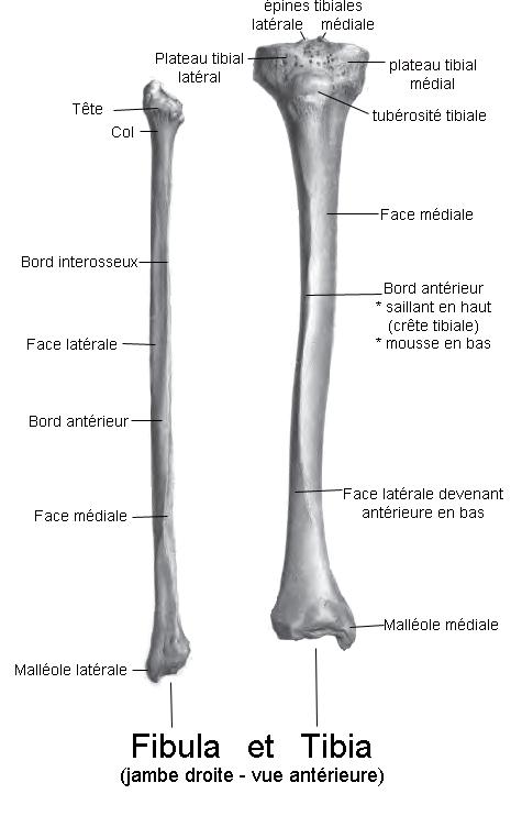 radius fibula diagram
