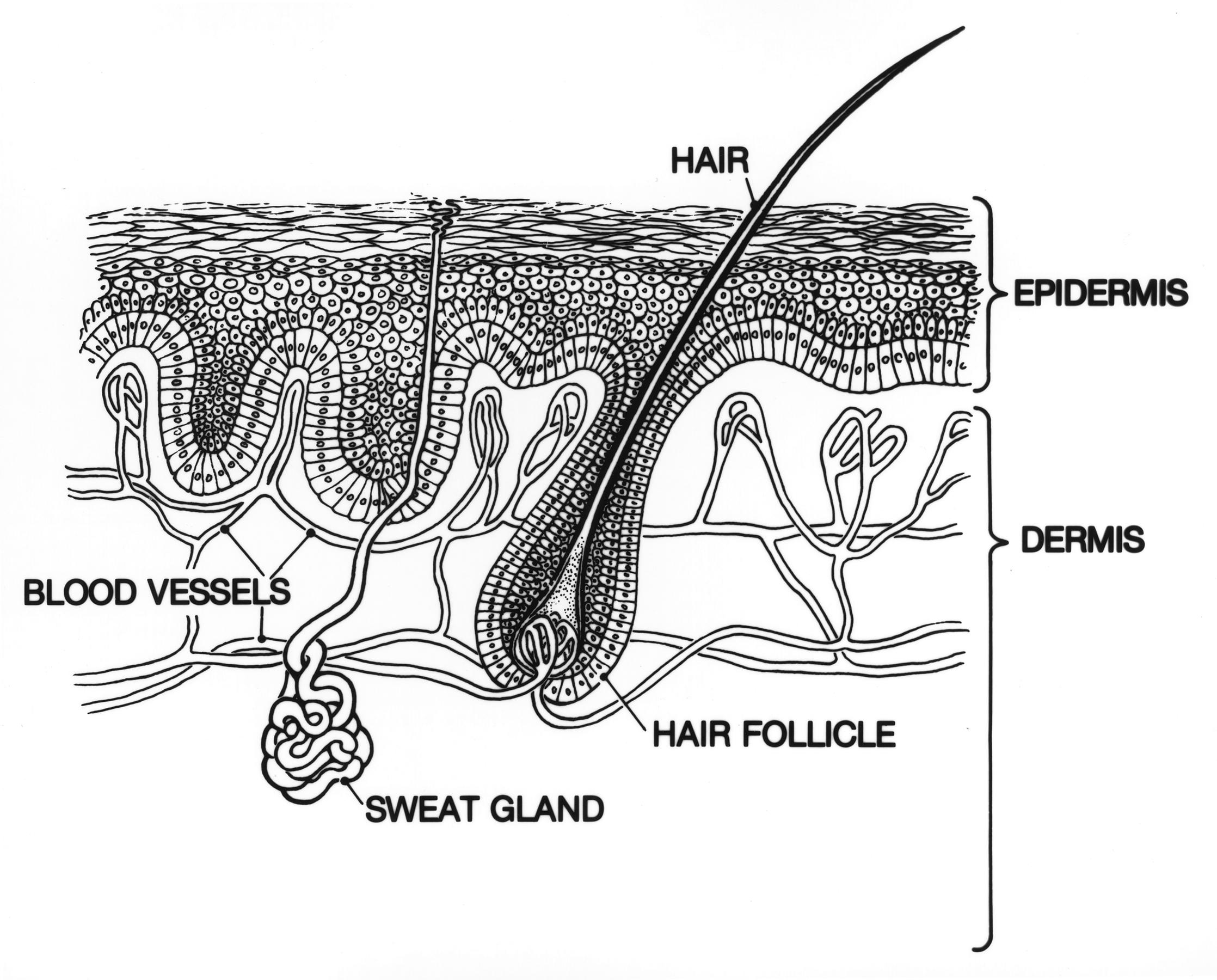 epidermis skin diagram